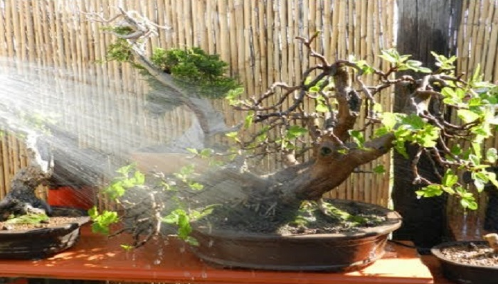 riego para el bonsai ligustrum