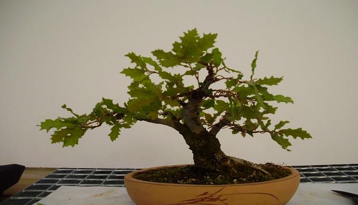 roble para bonsai