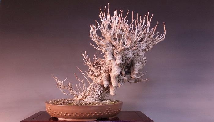 variedades de ginkgo biloba bonsai