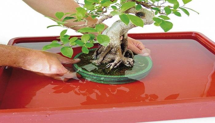 agua para bonsai