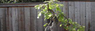 Alcornoque bonsái