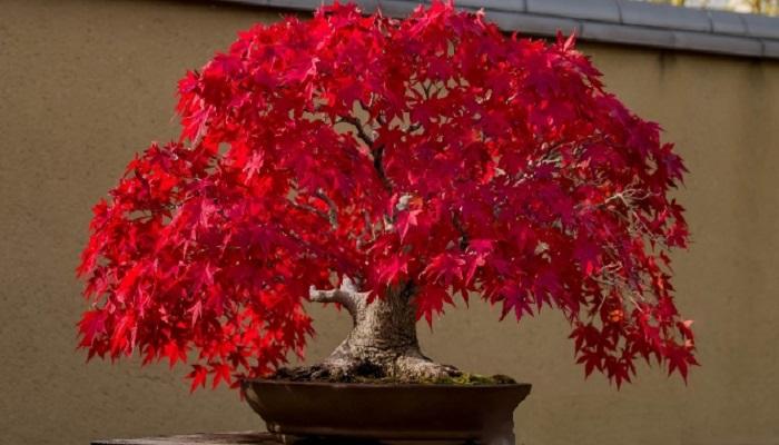 arce rojo bonsai