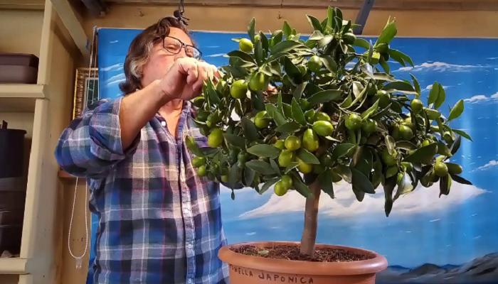 bonsai citrus japonica margarita