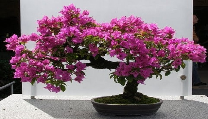 bonsai interior bouganvillea
