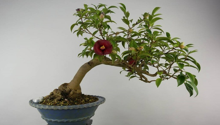 bonsai interior camelia japonica