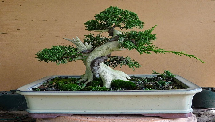 bonsai interior cupressus macrocarpa