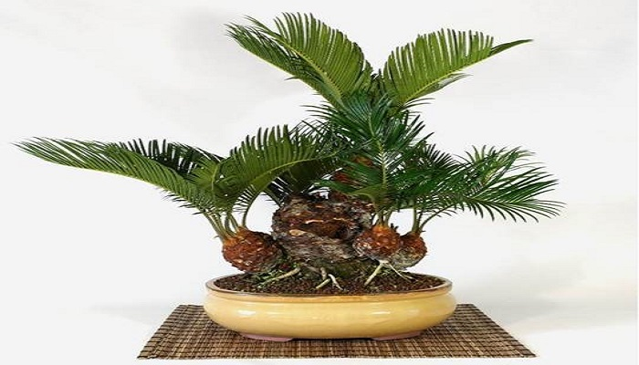 bonsai interior cycas revoluta