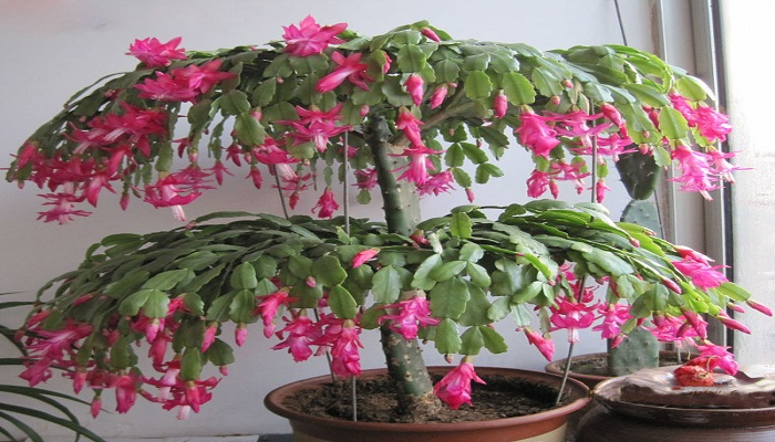bonsai interior schlumbergera