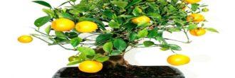 Bonsái limonero