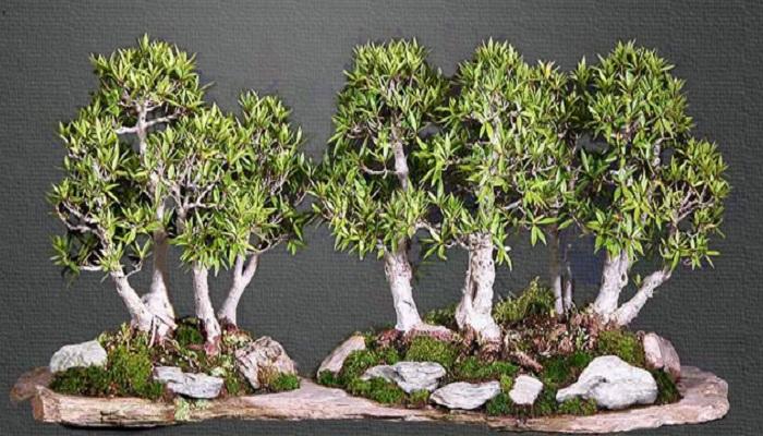 bosque bonsai cuidados