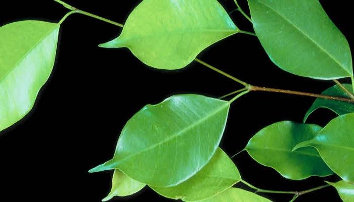 caracteristicas bonsai ficus