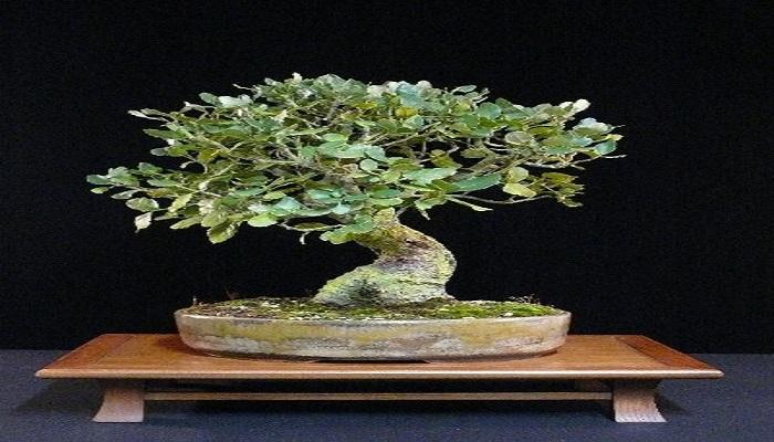 caracteristicas del alcornoque bonsai