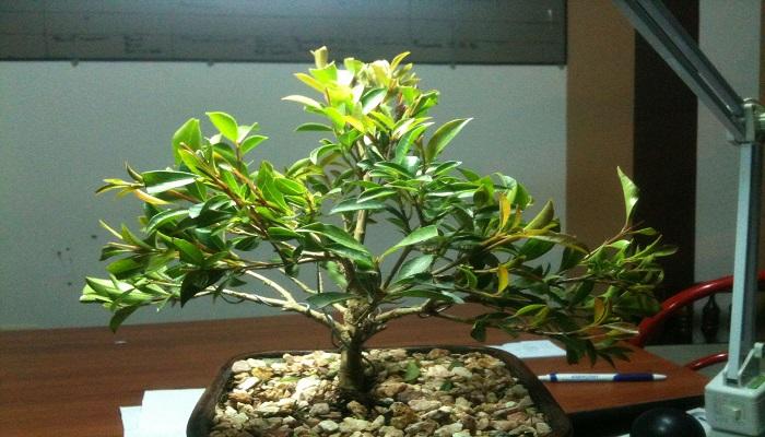 como alambrar el bonsai encina
