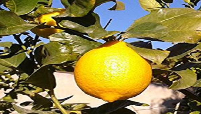 como cultivar un bonsai limonero