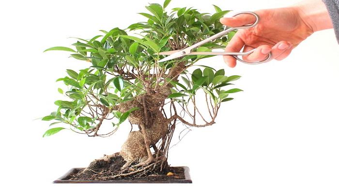 como podar un bonsai encina