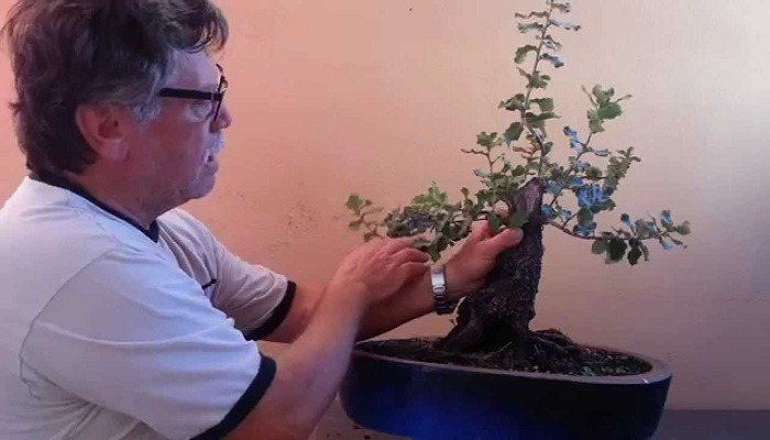 como trasplantar un bonsai encina