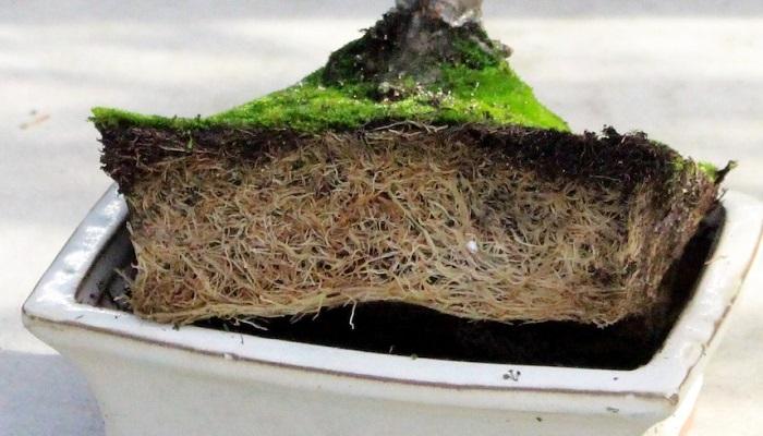 como trasplantar un bonsai