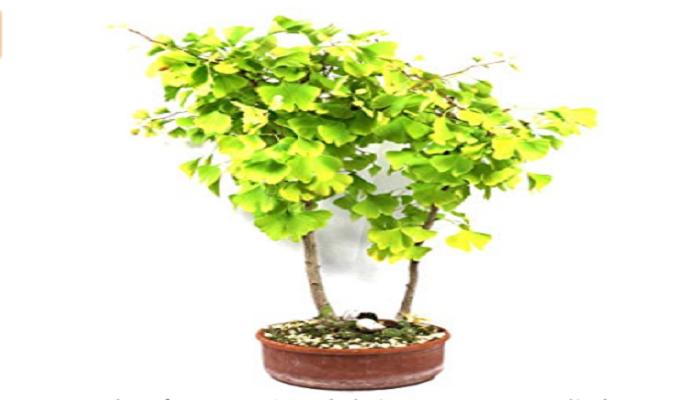 compra de bosque bonsai