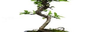 Pyracantha bonsái