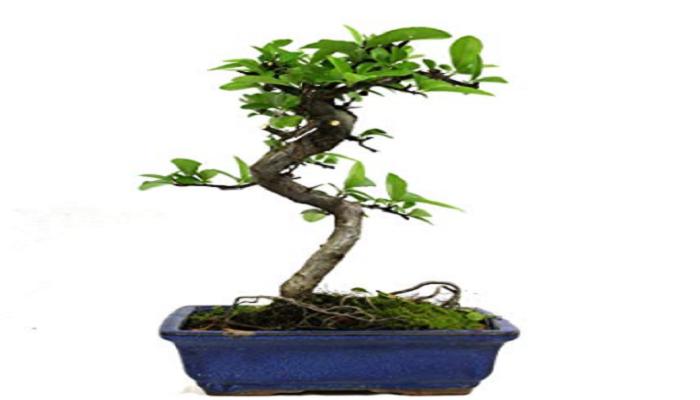 comprar pyracantha en bonsai