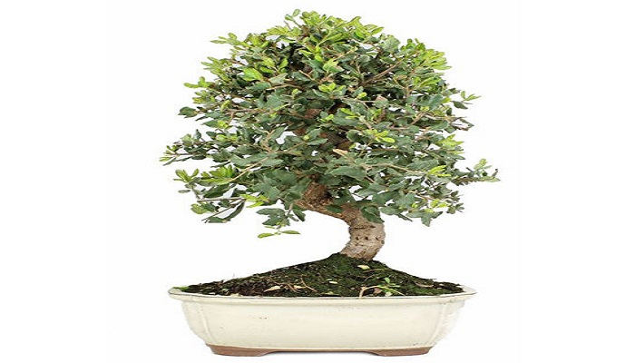 comprar un alcornoque bonsai