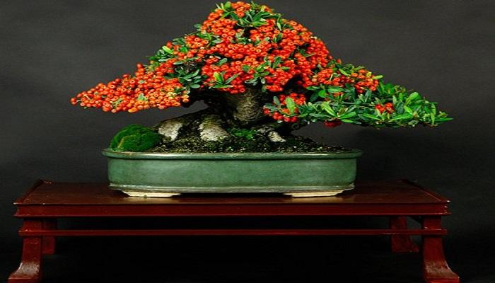 cuidados de la pyracantha bonsai