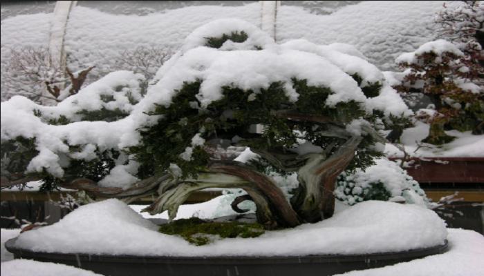 cuidados del alcornoque bonsai