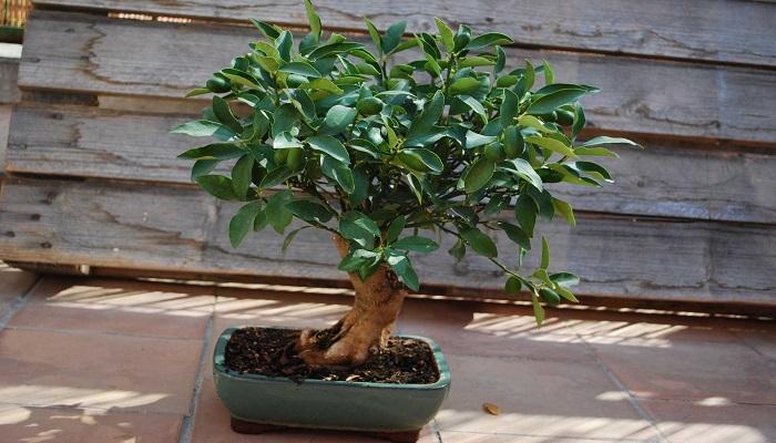cuidados del bonsai limonero