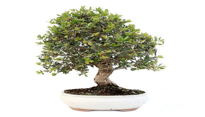 donde comprar un bonsai encina