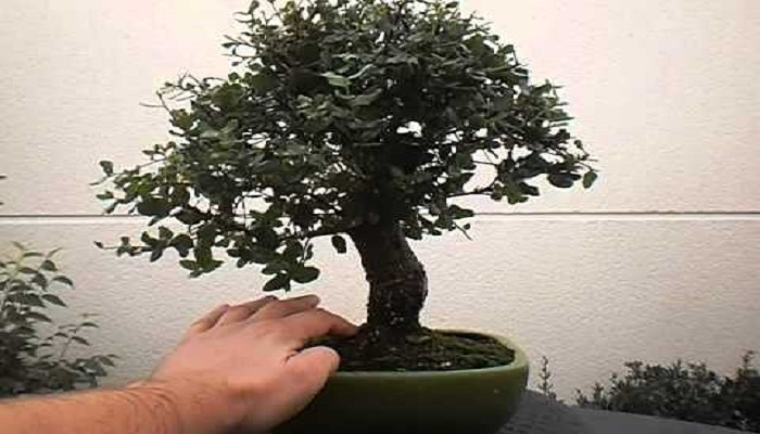 el alcornoque bonsai