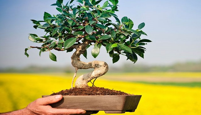 el bonsai limonero
