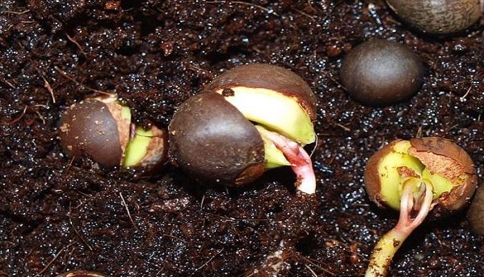 germinar semillas para bonsai