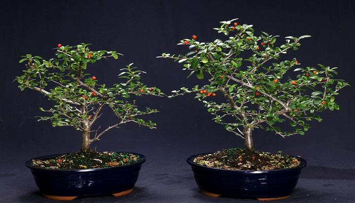 la pyracantha bonsai