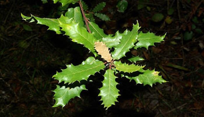los cuidados del alcornoque bonsai