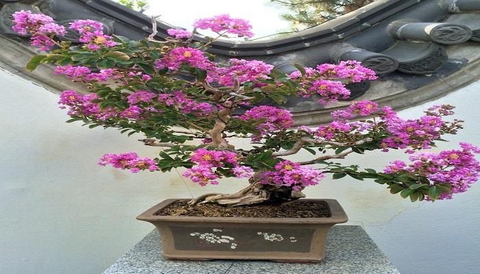 maceta del bonsai