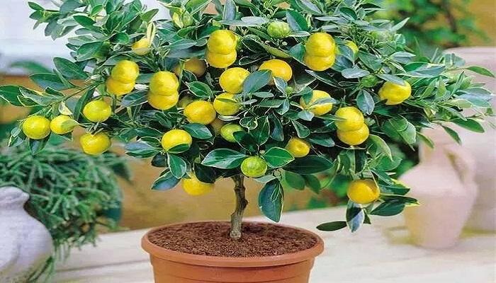 manejo del bonsai limonero en la maceta