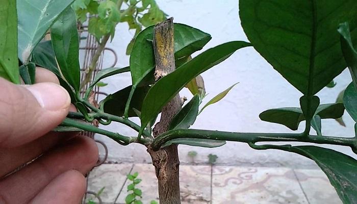 poda y pinzado en bonsai limonero