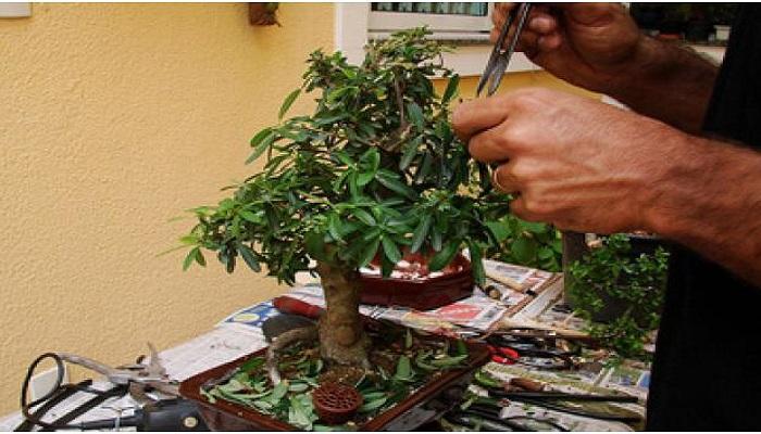 podas en pyracantha bonsai