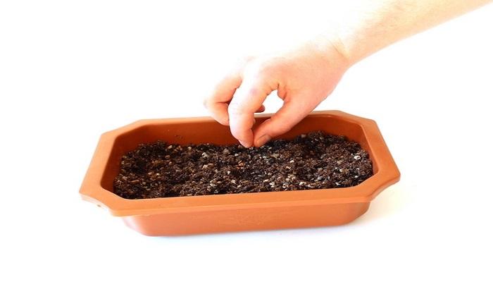 sembrar bonsai por semilla