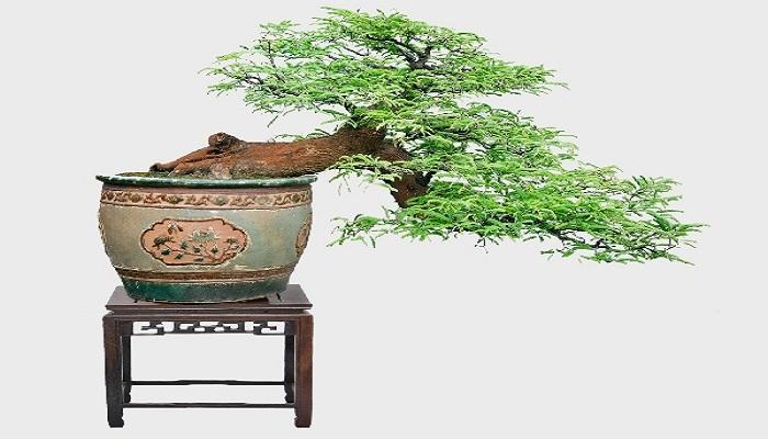 tamarindus indica bonsai